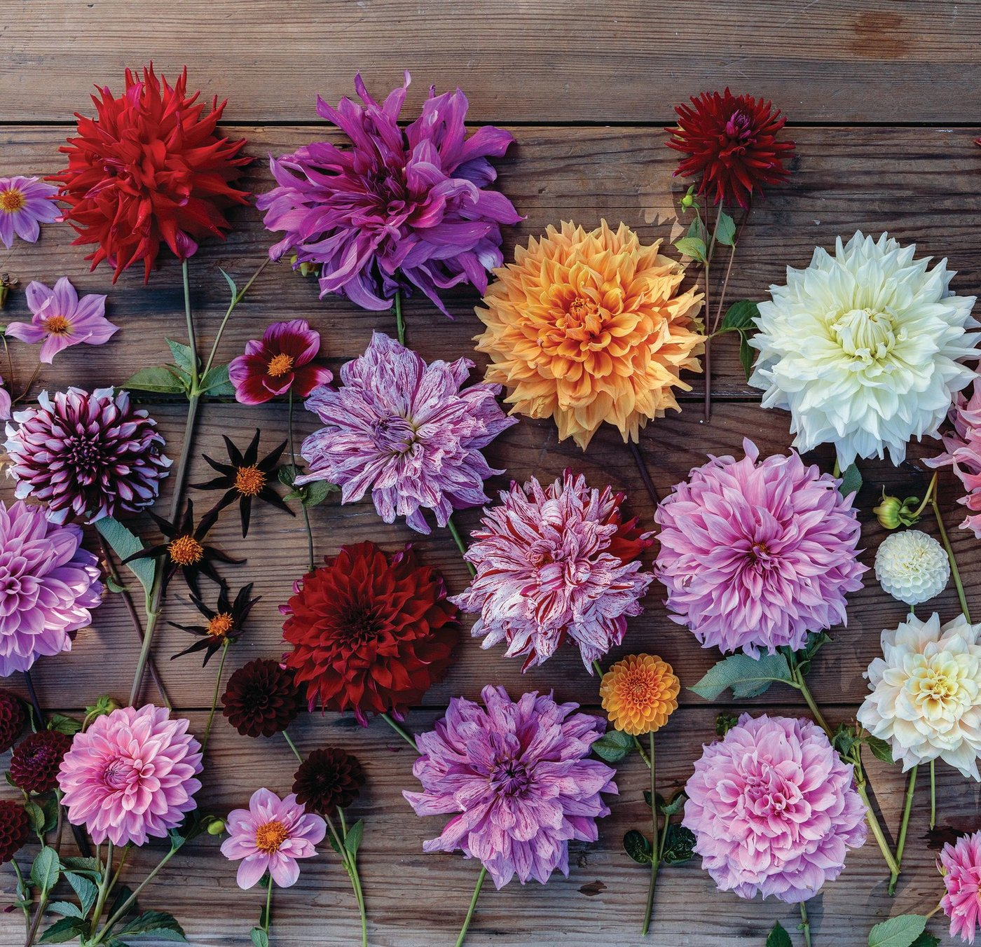 A stunning showcase of dahlias from the garden of Christopher Spitzmiller as seen in his new tome, A Year at Clove Brook Farm (Rizzoli) PHOTO BY GEMMA AND ANDREW INGALLS